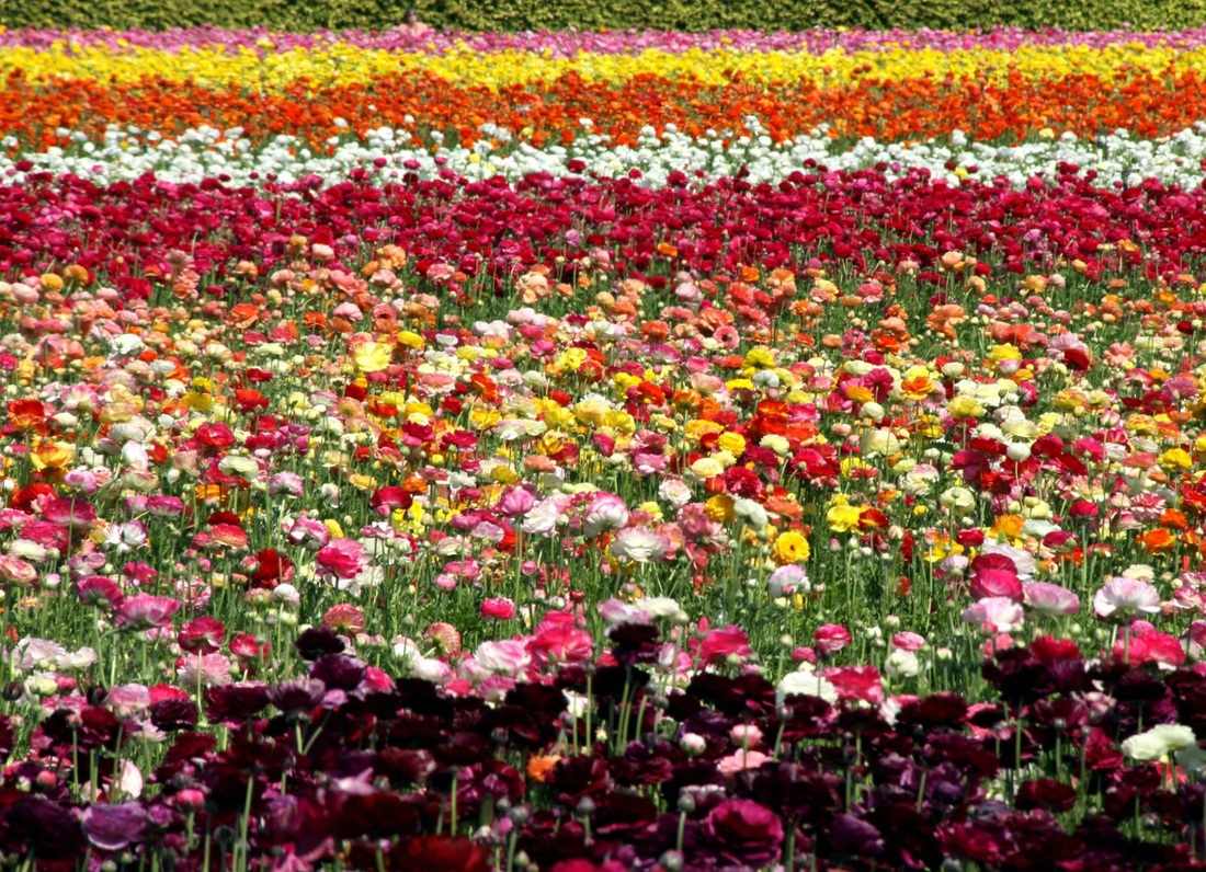 blooming flower garden